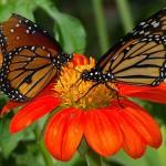 גני פפילון – הפרפרים שמבינים ספרדית