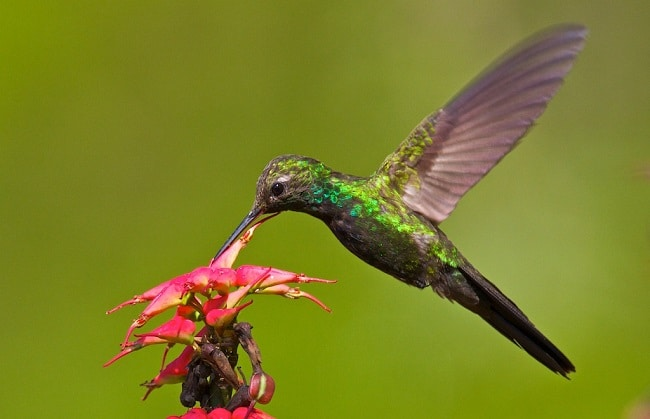צפרות בברהונה - Hispaniolan Emerald