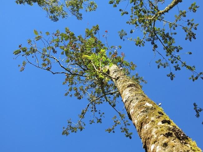 Brunellia comocladifolia עץ בפארק