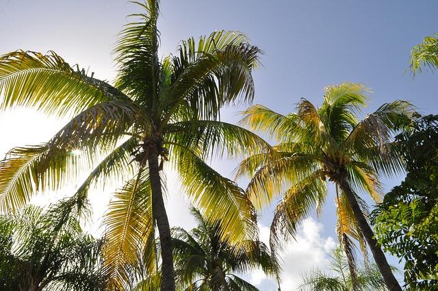 עצי קוקוס בפונטה קאנה